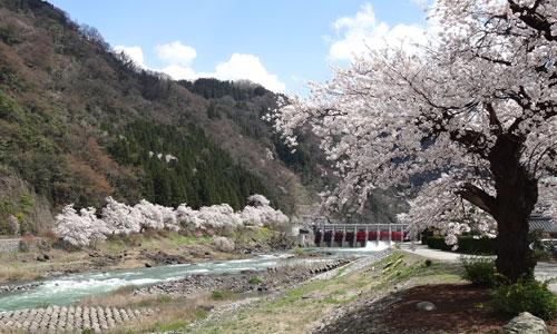 庄川沿いの桜並木